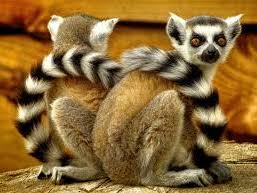 Reading Comprehension: The Ring-Tailed Lemur