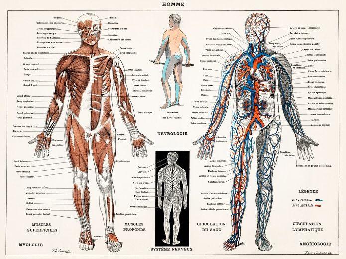 Organs & Organ Systems: Word Search