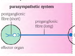 Peripheral Nervous System Edexcel B