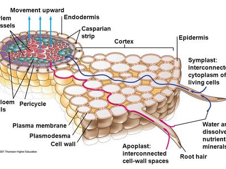Symplast and Apoplast Pathways in Plants