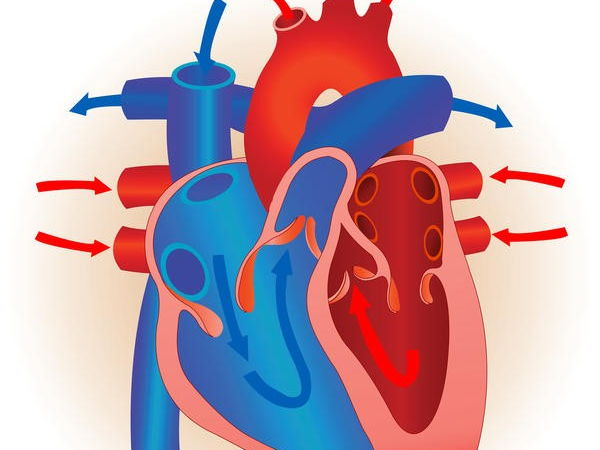 Edexcel New GCSE PE 9-1  Heart Diagrams