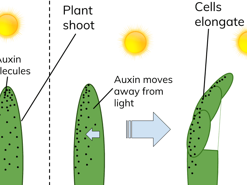 Plant Hormones - Tropisms, Required Practical, Auxins