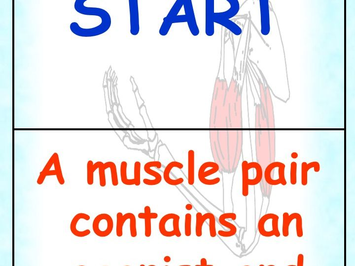 Muscles Dominoes GSCE PE Revision/Starter