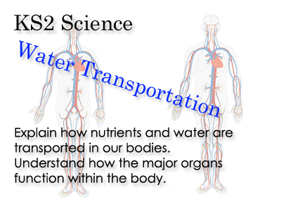 KS 2 Science water transportation around the body