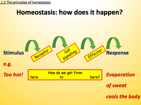 OCR A level Biology H420 - 5.1 COMMUNICATION AND HOMEOSTASIS