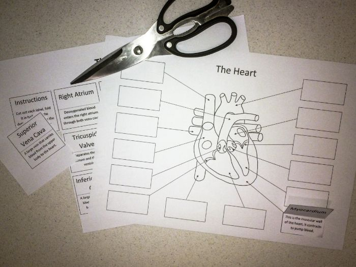 The Heart: Create a Labelled Diagram