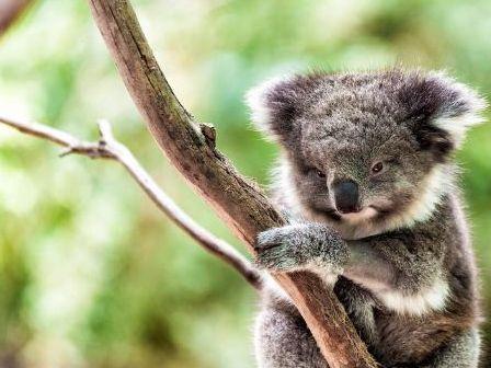 Koalas Reading Comprehension and Response Activities