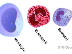 Types of Leucocytes