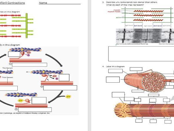 Actin & Myosin - Myofibril Contraction - Workpack & Markscheme