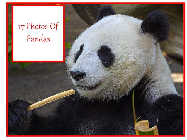 17 Panda Photos, Complete with 31 Different Teaching Activities and An Animal Writing Prompt.