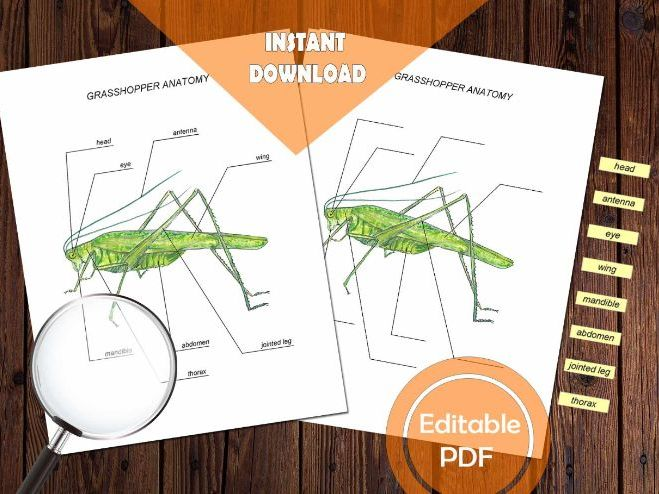 GRASSHOPPER ANATOMY / Editable Watercolor / Homeschool Printable / Education