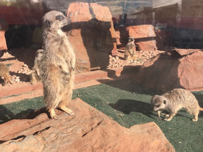 Meerkat (Animals from Africa)