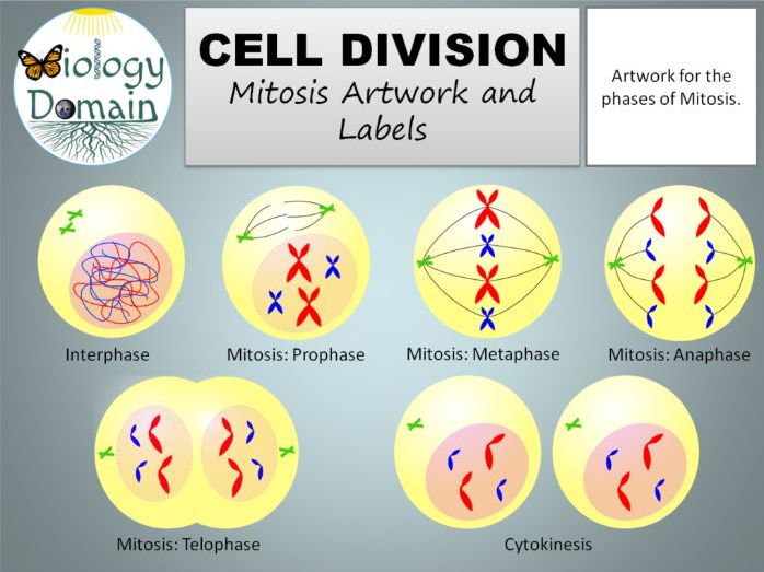 Image result for mitosis