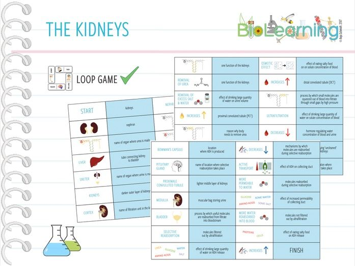The Kidneys - Large Loop Game (KS4)