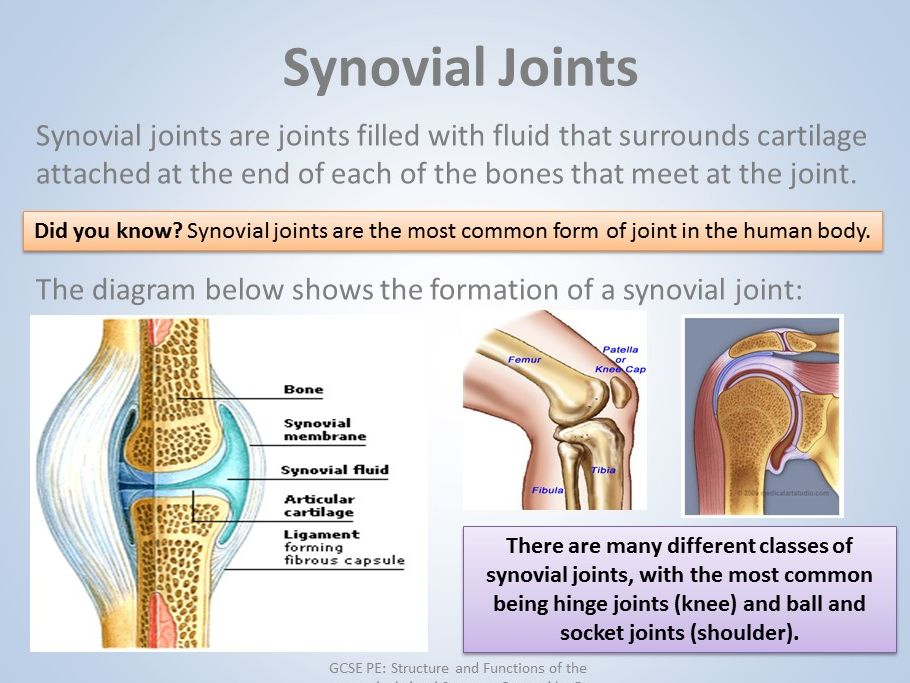 GCSE PE - Anatomy & Physiology - Musculo-Skeletal System