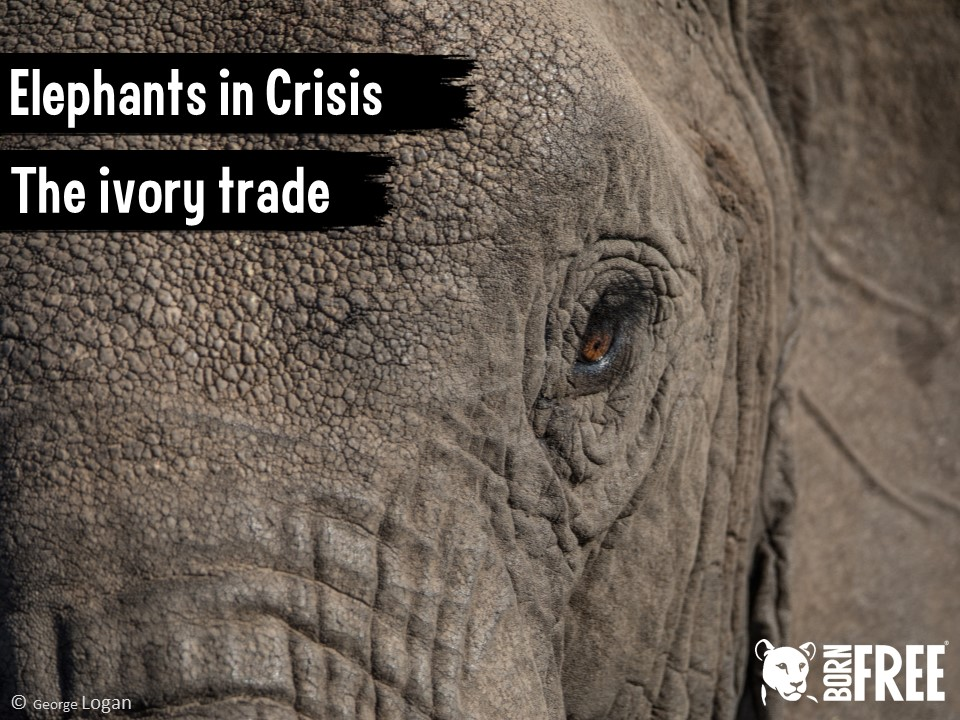Assembly - Elephants in Crisis. The Ivory Trade. Born Free Foundation.