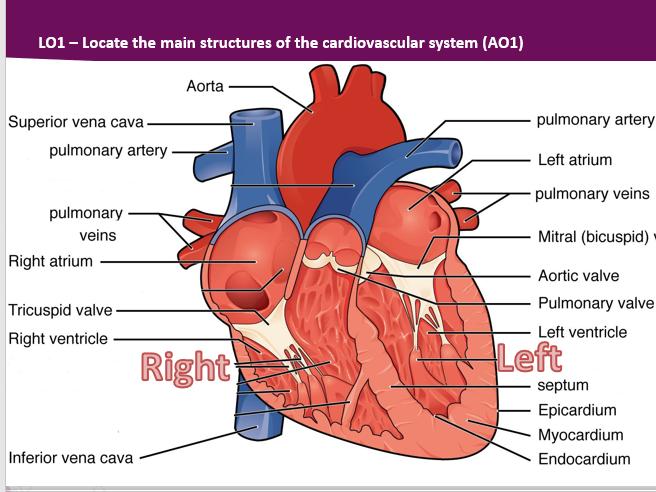 BTEC Sport Level 3 Unit 1 Cardiovascular System
