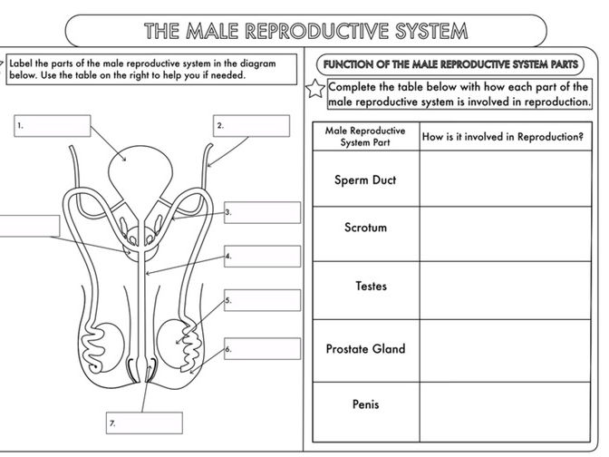 GCSE worksheets on Human Reproduction
