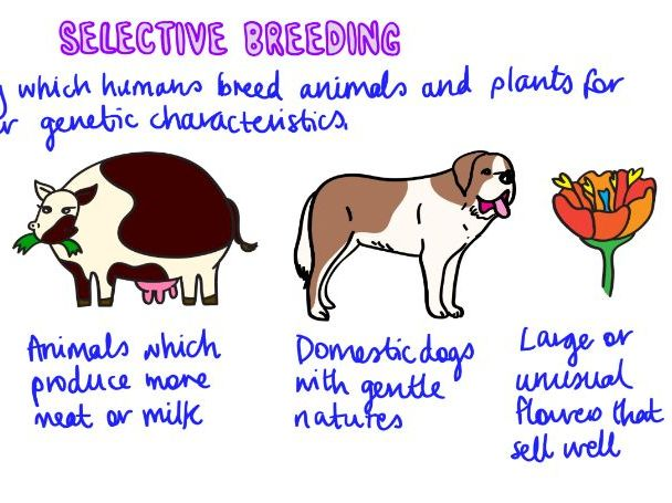 SELECTIVE BREEDING Revision Video GCSE 9-1 Bio & Combined Science