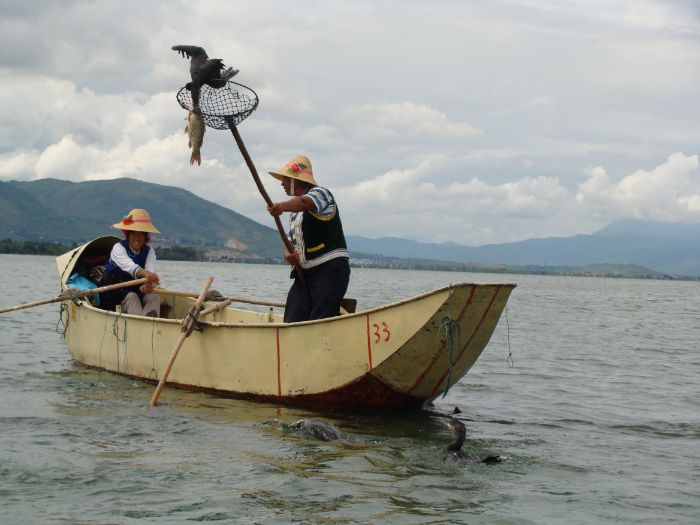 TRADITIONAL CORMORANT FISHING IN YUNNAN CHINA - CAN IT SURVIVE