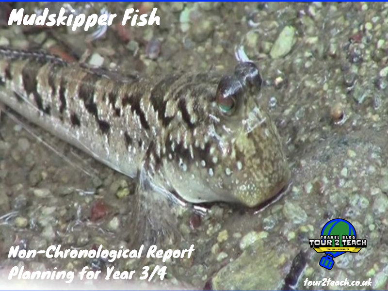 Mudskipper Fish: Non-Chronological Report Planning for Year 3/4
