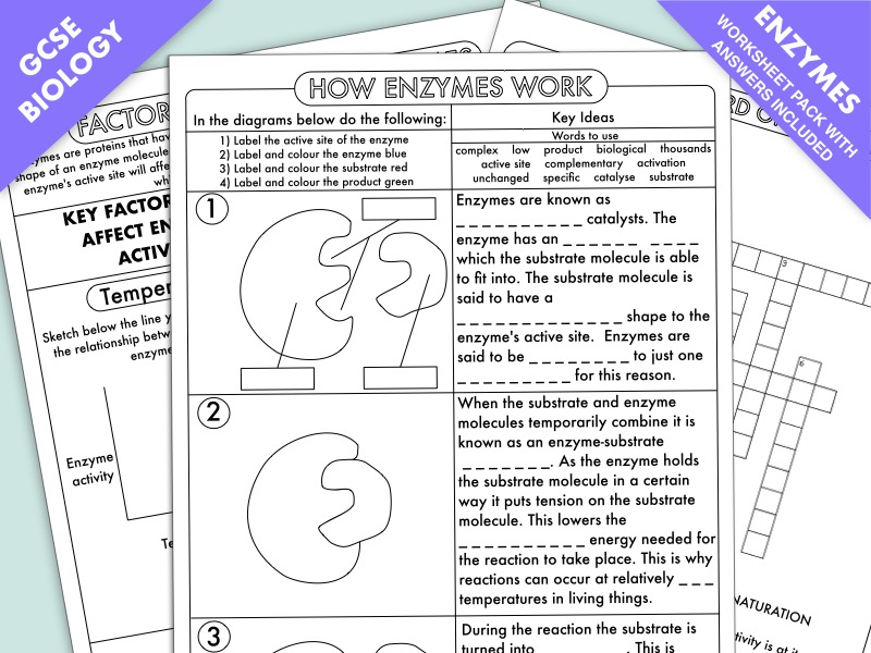 GCSE Biology: Enzyme Worksheet Pack