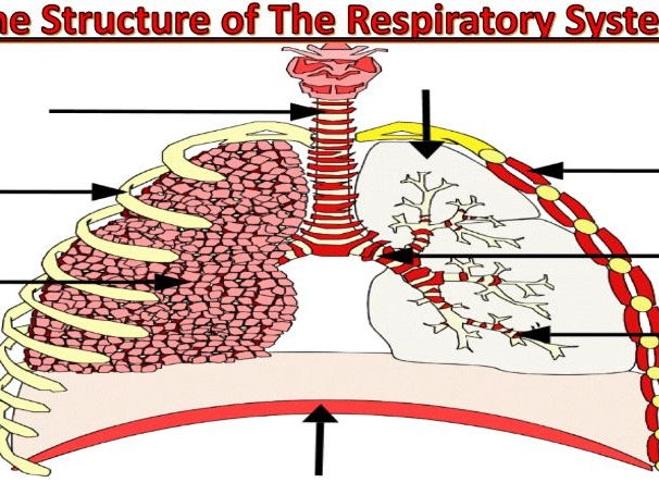 Edexcel 9-1 GCSE PE - The Respiratory System - Structure Of The Respiratory System