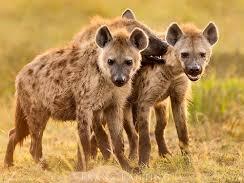Rudyard Kipling Hyenas Year 8 animal poetry