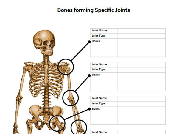 A&P Skeletal System: Bones forming Joints