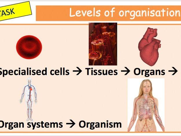 Organisation & specialisation of cells