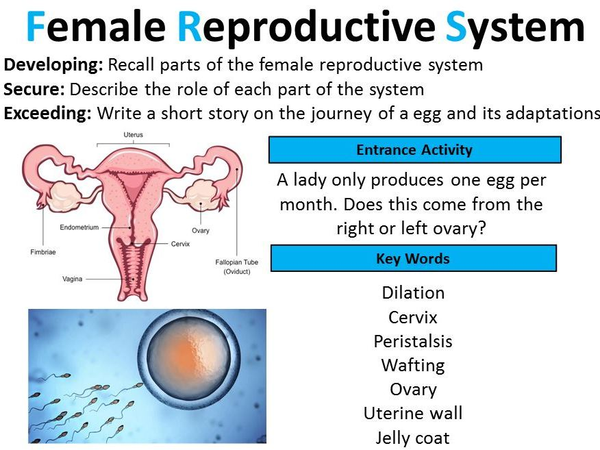 Gcse Biology Female Reproductive System Lesson 2 By Rreaney389