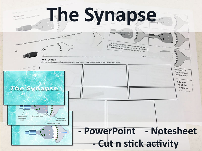 The Synapse - Animated PowerPoint, Notesheet & Cut n Stick Activity