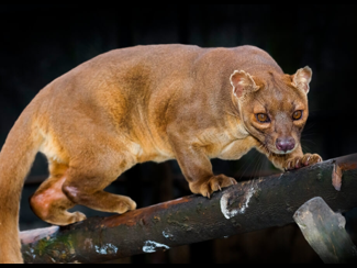 Reading Comprehension: The Fossa
