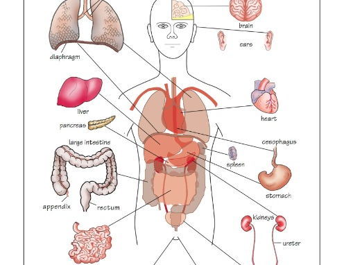 The human organs diagram