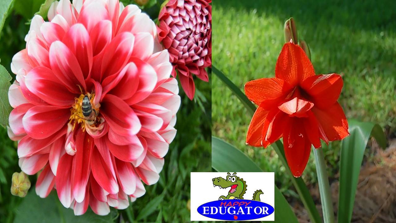 Dollar Stock Photos - Amaryllis Flower and Zinnia with a bee