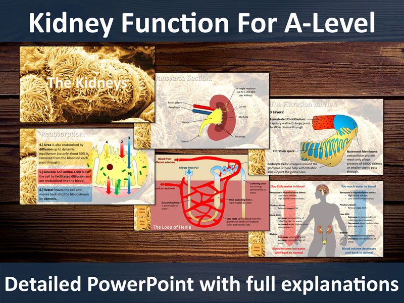 Kidneys PowerPoint for A-Level - Detailed slides on ultrafiltration, reabsorption and osmoregulation