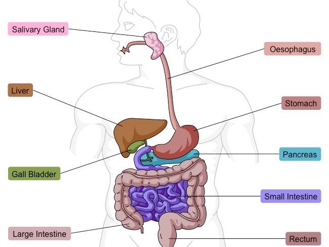 Digestive system new spec aqa by scienceexcel teaching resources cover image ccuart Gallery
