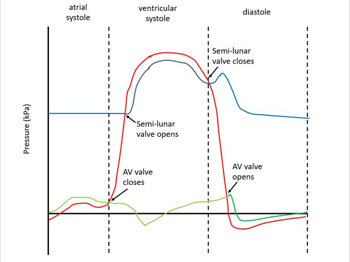 Cardiac cycle (AQA A-level Biology)