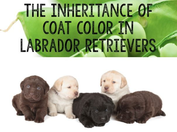Genetics Project: The Inheritance of Coat Color In Labrador Retrievers