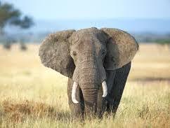 Adaptation - Elephant ears