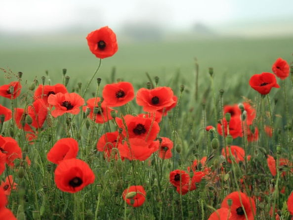 Conflict Poetry: 'Poppies' by Jane Weir