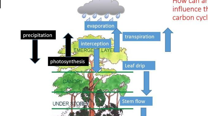 A Level; case study of a rainforest - impacts of management on water and carbon cycles