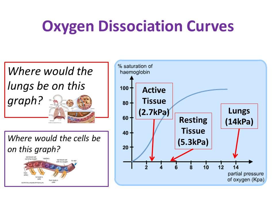Dissociation Curves - OCR AS/A Level Biology