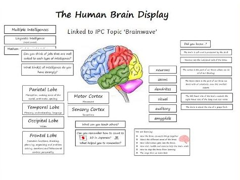 The Human Brain and Multiple Intelligences Display (IPC 'Brainwave' Unit)