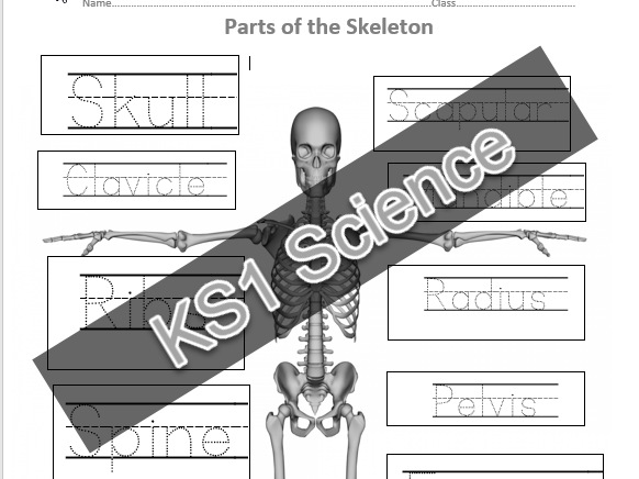 KS1 Parts of Skeleton activity, 1 page, trace the writing