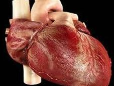 Heart Structure and Heart Dissection