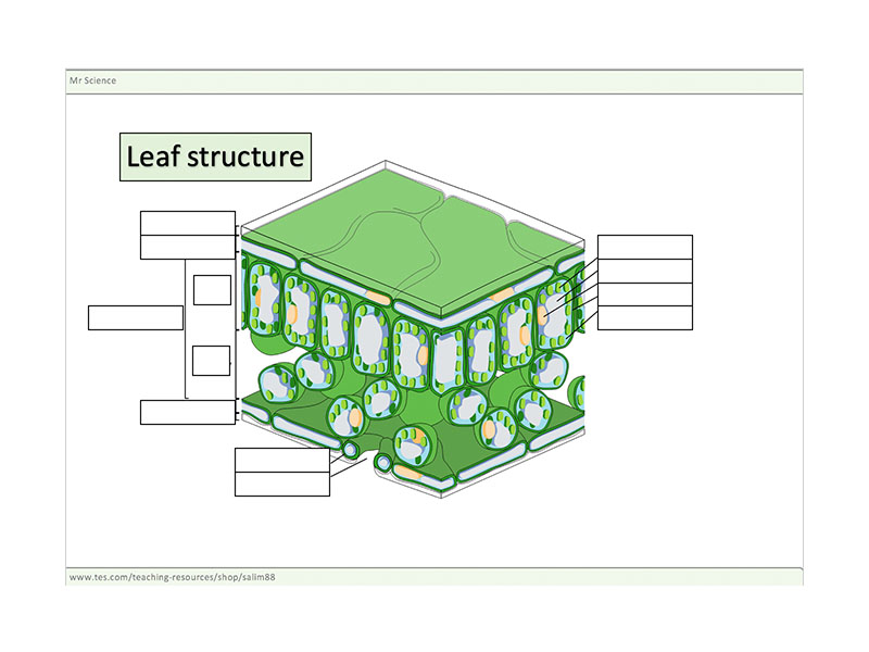 Leaf Structure worksheet by mrscience Teaching Resources Tes – Leaf Structure Worksheet