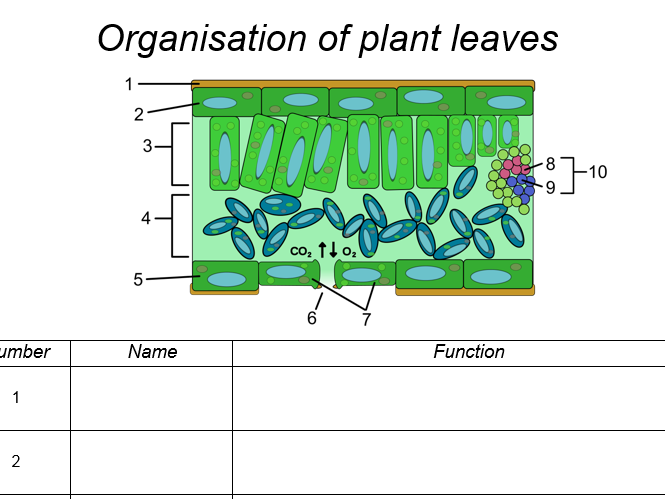 AQA A Level Biology: Plant cells and carbohydrates