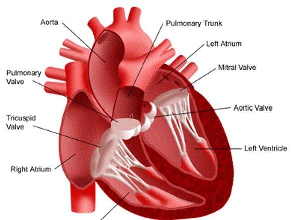 A Level Biology - The Heart