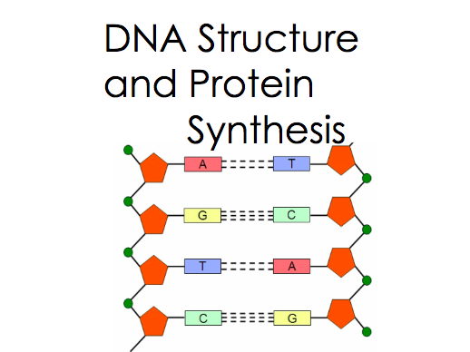 DNA Structure and Protein Synthesis